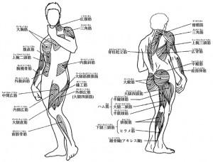 図2.1_主要な筋肉