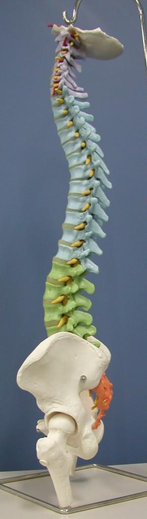 写真2脊柱と骨盤